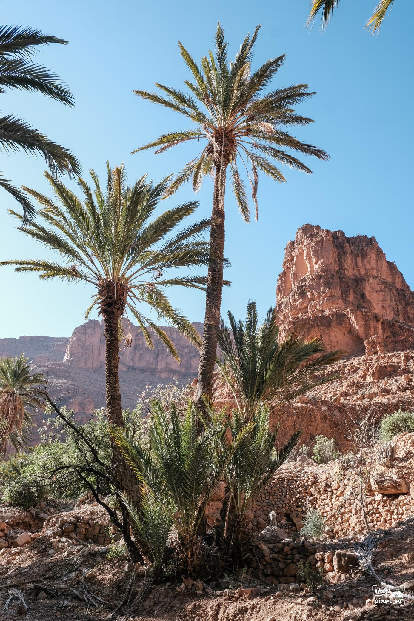 Palmiers au Maroc