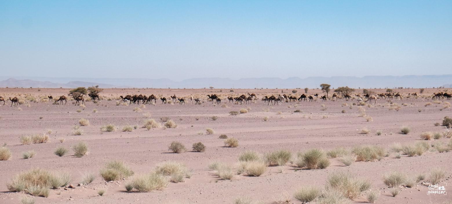 troupeau de dromadaire au maroc