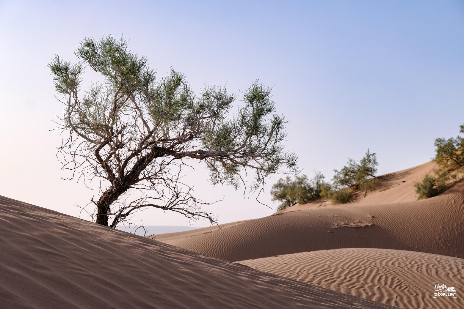 Arbre dans le désert au Maroc