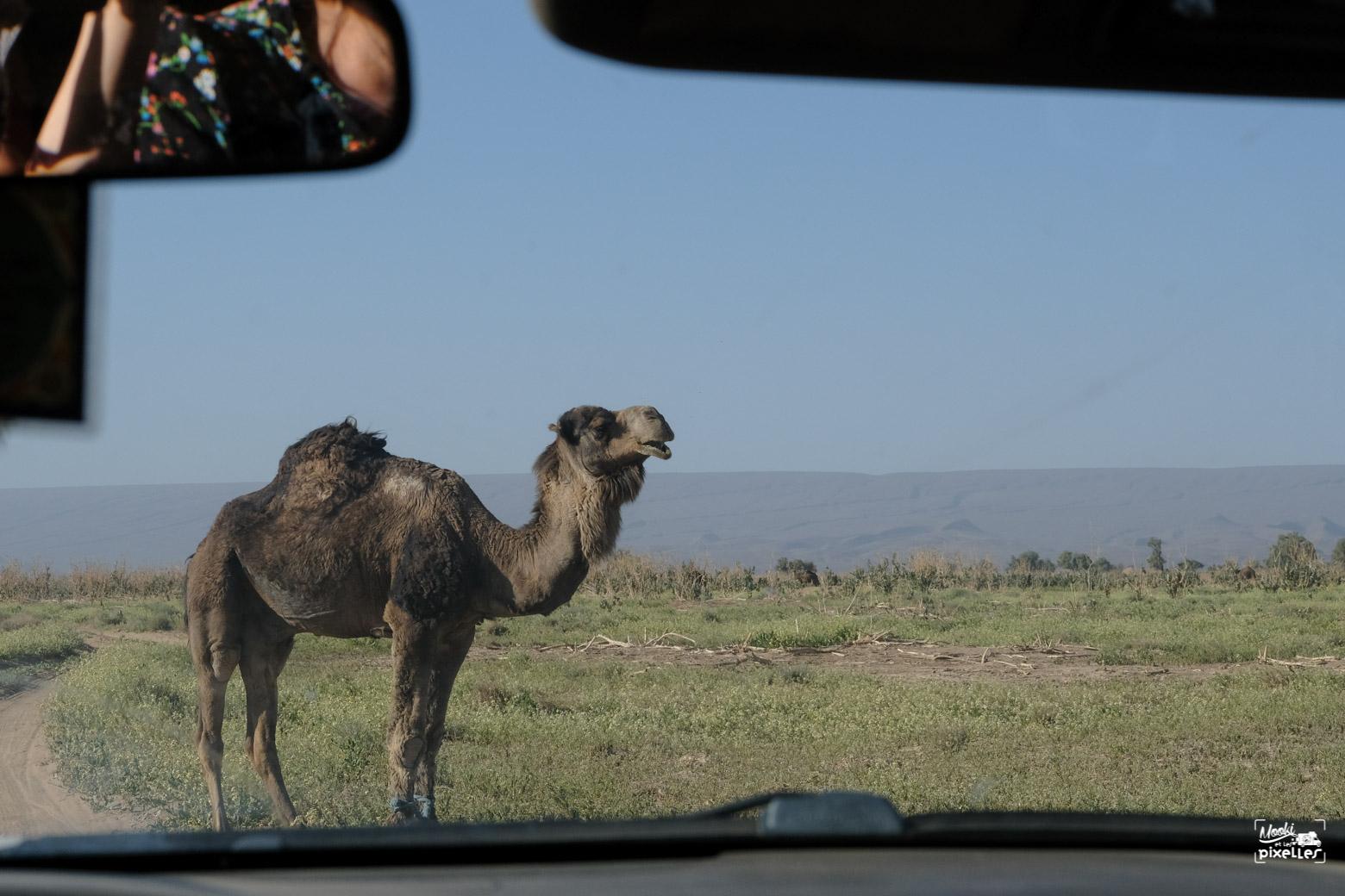 Dromadaire au milieu de la piste désertique