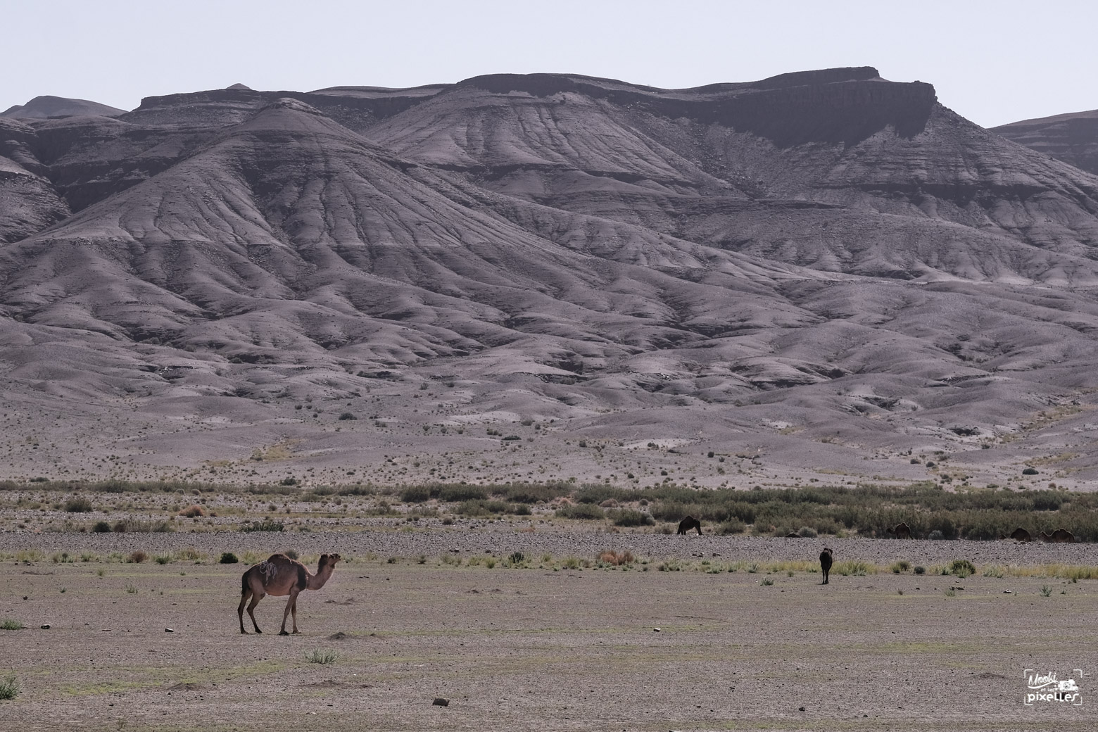 Dromadaire sur fond de montagne au maroc