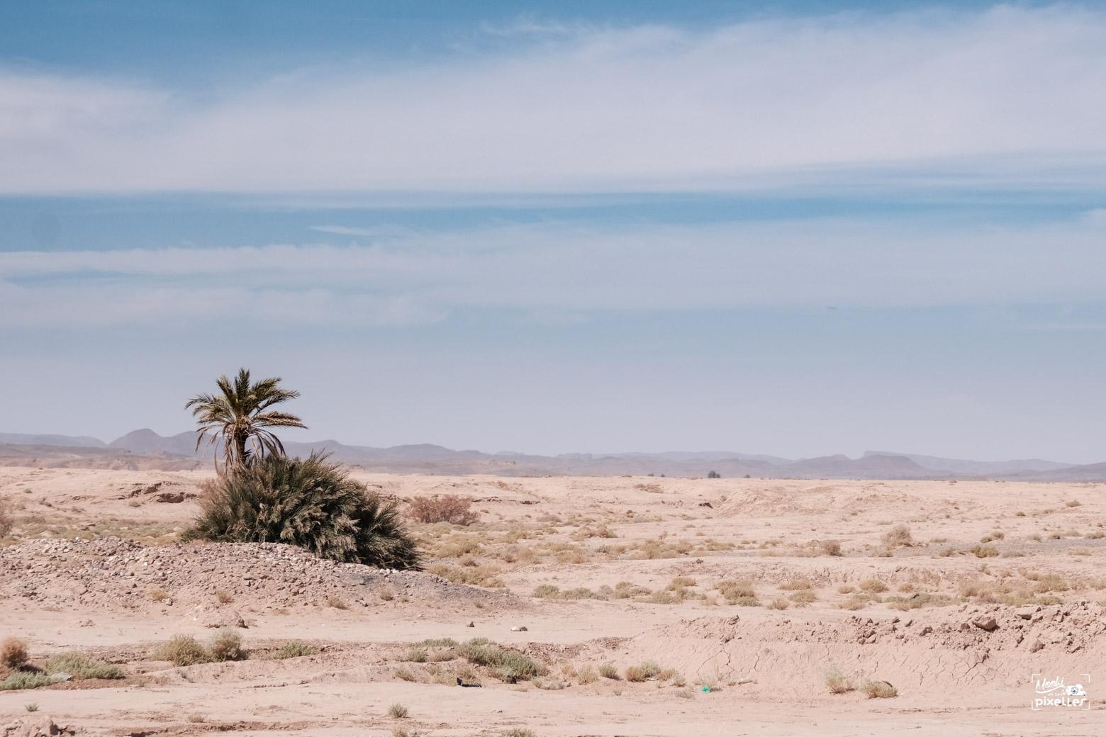 Un palmier tout seul dans le désert au Maroc
